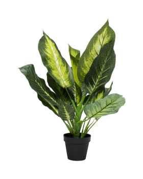 Декоративное растение Dieffenbachia 50cm